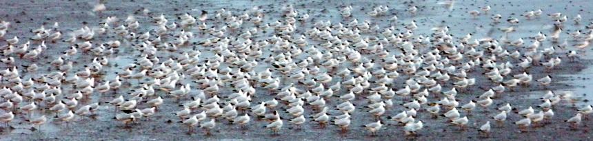 Seagulls congregate on the mudflats, Bang Pu Recreation Area, Samut Prakan Province